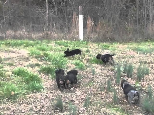 Peggy's Pups Sight Chasing at 14 Weeks Old