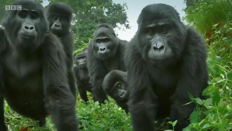 BBC выпустили ролик в котором показали как поместили в джунгли робота детеныша гориллы