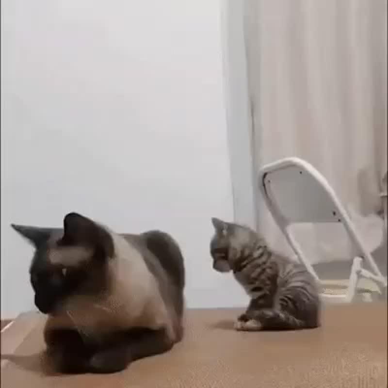 О бессердечности сиамских кошек