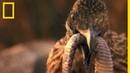 Le géocoucou, loiseau carnivore chasseur de crotales