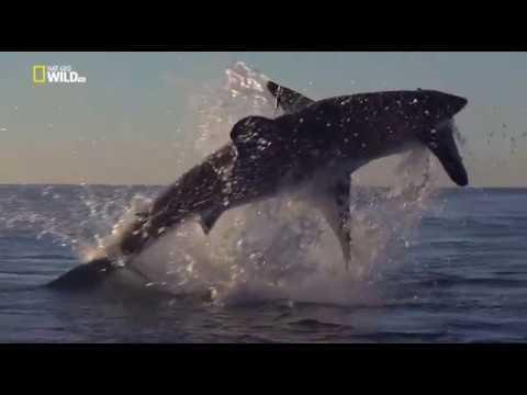 Неудачи хищников Охотничьи игры Документальный фильм National Geographic Дикая природа 100