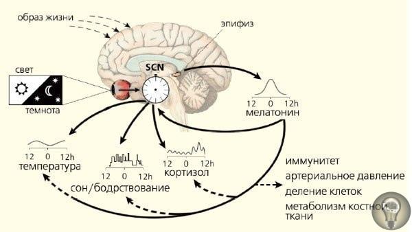 «Глаз Гора» или «Око Ра». О чем знали в Древнем Египте Эпифиз (пинеальная/шишковидная железа или «Третий Глаз») является одной из самых загадочных частей человеческого мозга. О шишковидной