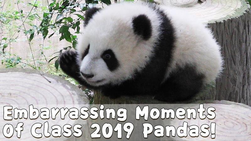 Embarrassing Moments Of Class 2019 Pandas iPanda