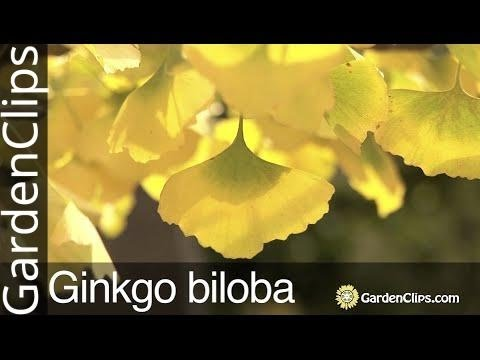 Ginkgo Tree - Ginkgo Biloba - Maidenhair Tree - Gingko