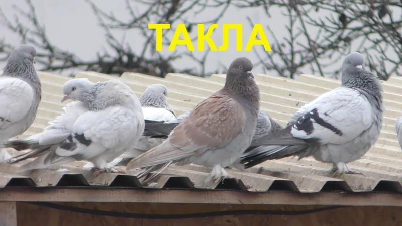 09 12 19 Мои голуби Такла тренировка My pigeons Takla training