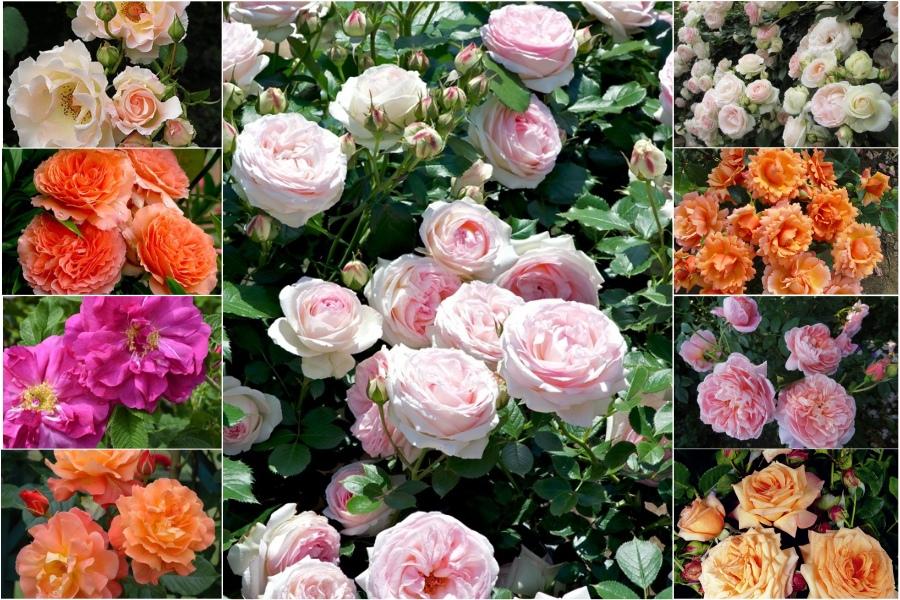 Шрабы - что это за розы? Главные отличительные особенности