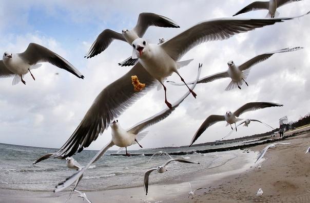 Голодные чайки над Балтикой. Тиммендорфер-Штранд, Германия