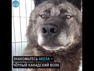 Этот парень живёт с самым большим волком на Земле!