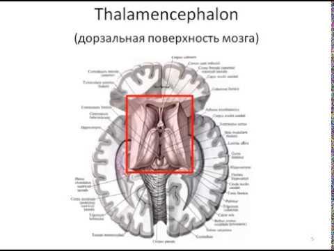ПСИХОЛОГИЯ 4 Промежуточный мозг Читает профессор Изранов В А