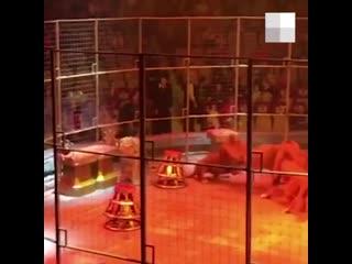 В Екатеринбургском цирке сцепились три льва. Их поливали из брандспойта _