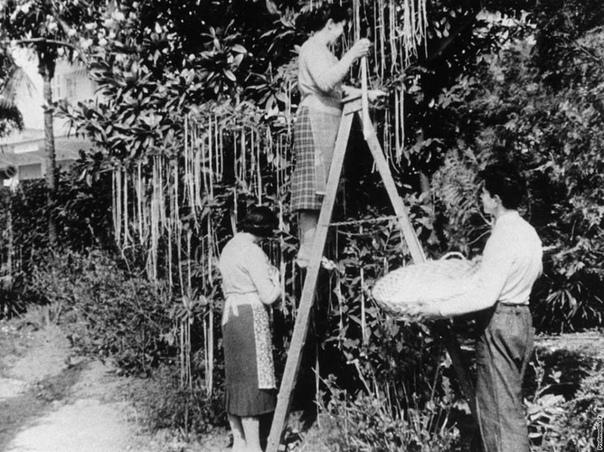 """""""Уборка урожая спагетти"""" в """"День дураков"""". 1 апреля, 1957 года."""