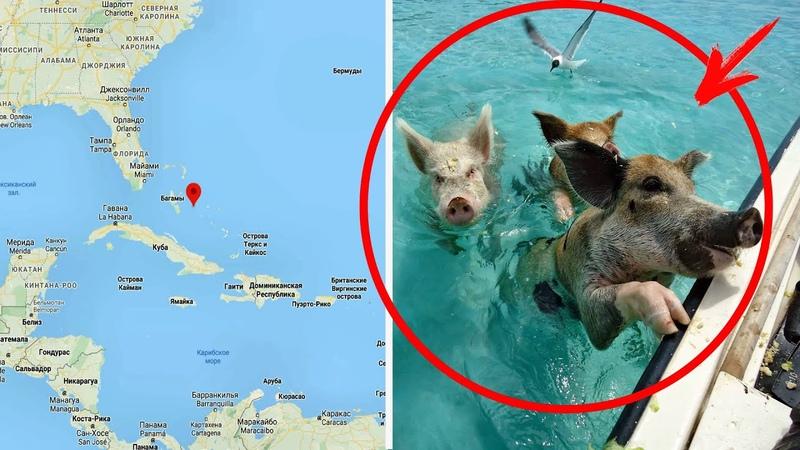 Пираты завезли на необитаемый остров свиней и уплыли Спустя много столетий люди его обнаружили