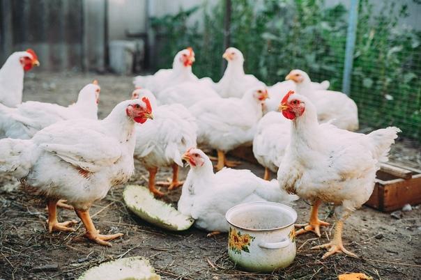 Как за два месяца из цыпленка вырастить бройлера на 3-4 кг