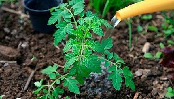 и снова про йод! рассаду помидоров поливают раствором йода для более быстрого роста (1 капля на три литра). после применения этого раствора рассада зацветёт быстрее, а плоды будут крупнее. может
