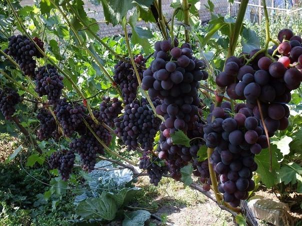Обрезка винограда для начинающих: когда и как обрезать.