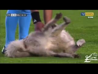 В Боливии во время футбольного матча на поле выбежал пёс с бутсой в пасти. Сам он уходить не хотел