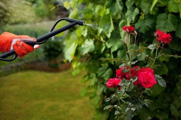 Подкармливай садовые розы минералами.