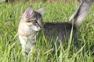 Котята! Шикарные! Очень редкая порода!
