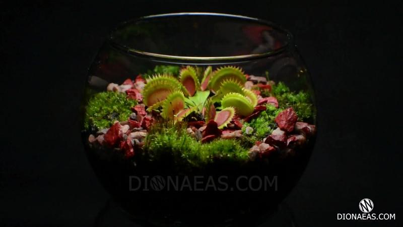 Флорариум венерина мухоловка, хищное растение, flytrap, carnivorous plant, дионея, DIONAEAS.COM