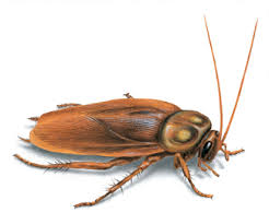 Как выглядит таракан?