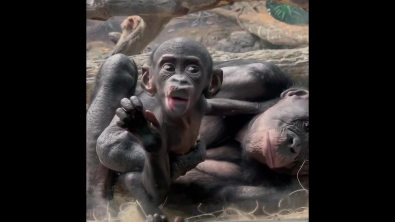 Бонобо Animal Planet