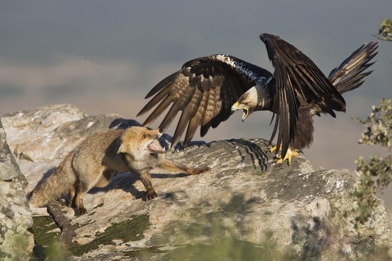 Орел-могильник во время охоты.