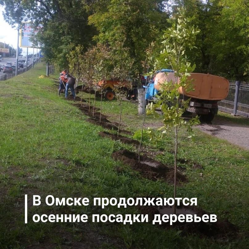 В Омске продолжаются осенние посадки крупномерных деревьев и кустарников