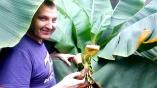 ТЕПЛИЦА-КОФЕ:Как цветут бананы в теплице и дома. Шикарный урожай кофе в доме.