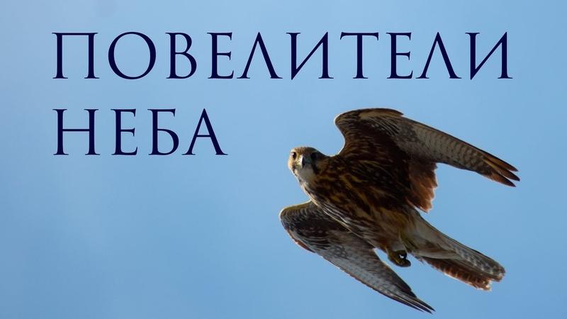 СОКОЛ БАЛОБАН повелитель неба Один из самых быстрый пернатых хищников на Земле Сибирь