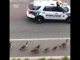Полицейский кортеж для уточек
