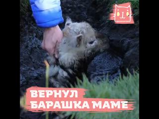 Несчастный барашек провалился в глубокую яму с грязью