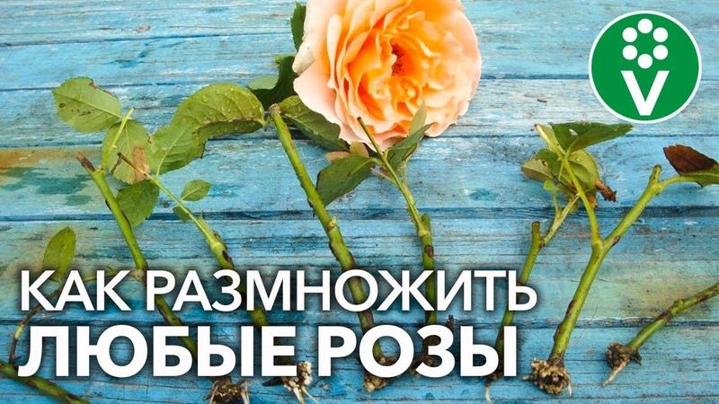 УКОРЕНИТСЯ ЛЮБАЯ РОЗА Самый полный мастер класс по размножению роз летом