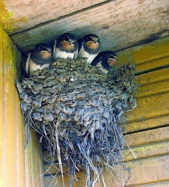Настоящее ласточкино гнездо!