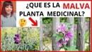 Que es la MALVA PLANTA MEDICINAL