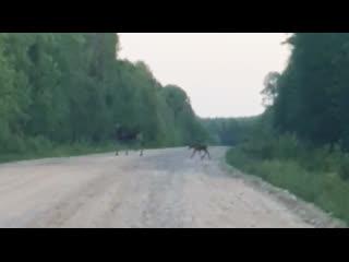 Лоси на дороге