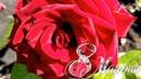 С женским днем 8 марта. Красивая видео открытка поздравление с женским днем