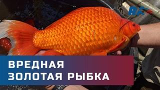 Экосистема под угрозой. Гигантские золотые рыбки захватывают озера в США