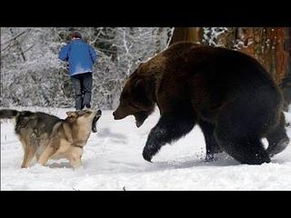 Даже у хищников есть доброе сердце: как волки спасают людей, когда этого от них никак не ждешь...