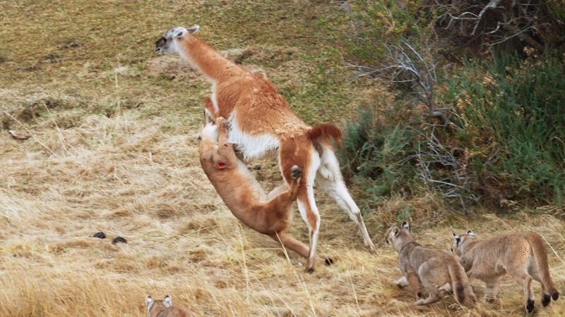 Puma takes on Guanaco 3 Times Her Weight Seven Worlds One Planet BBC Earth
