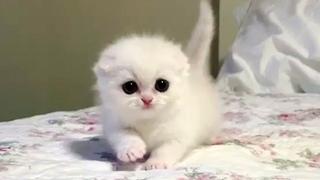 This Snowball Munchkin Kitten Is A Bundle Of Fluffy Cuteness