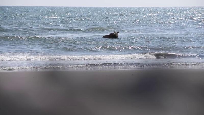 A moose baths in the Pacific ocean